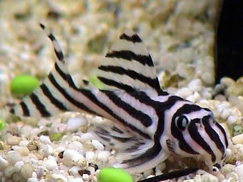 Zebra pleco fishes for Black and white striped fish freshwater