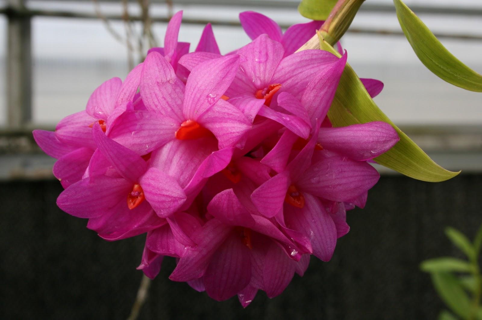 Botanica Za Les Winter Flowering Orchids