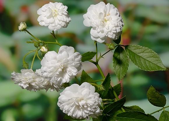Guirlande d' Amor rose сорт розы фото
