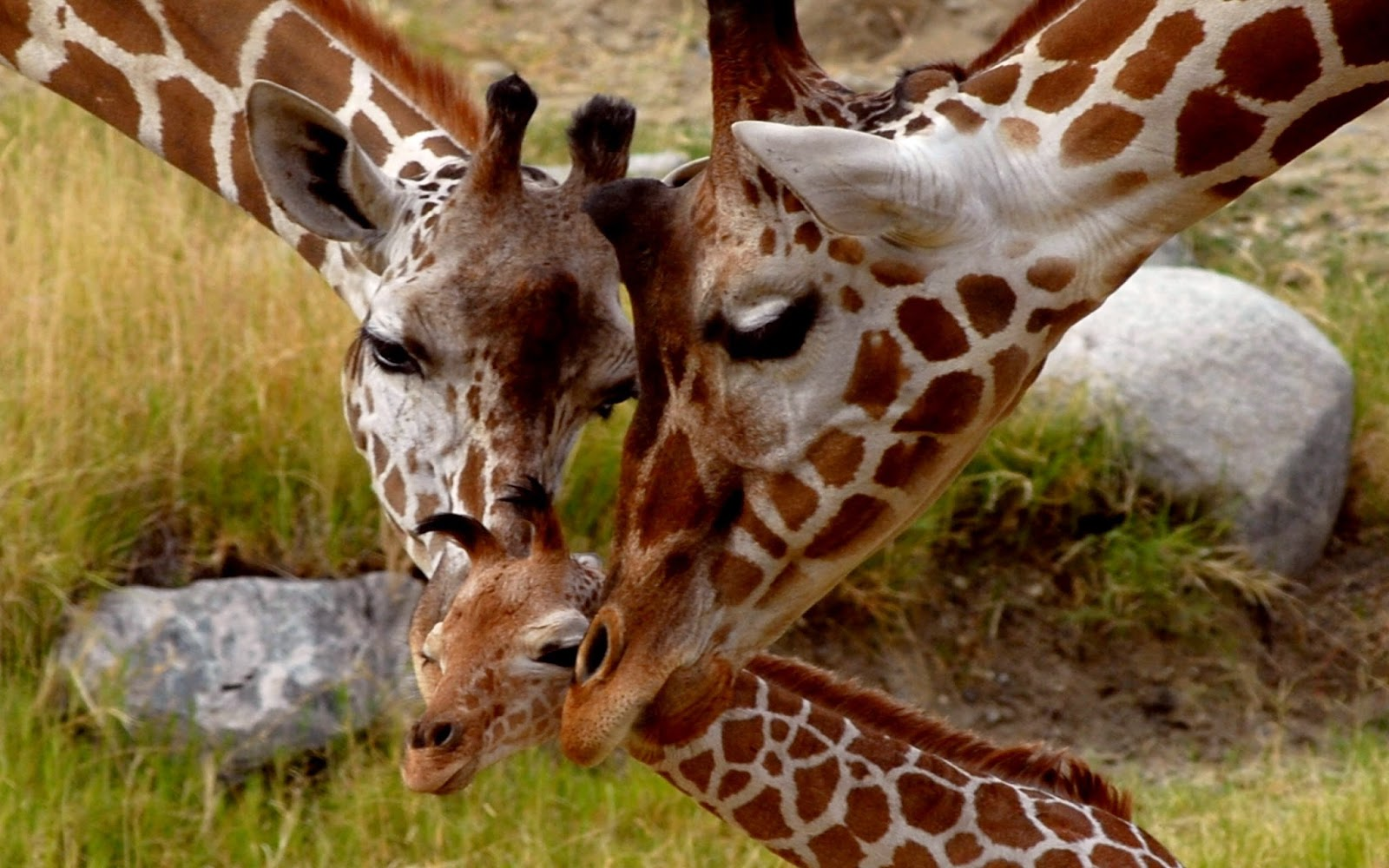 Giraffe M NinjaMikki'...