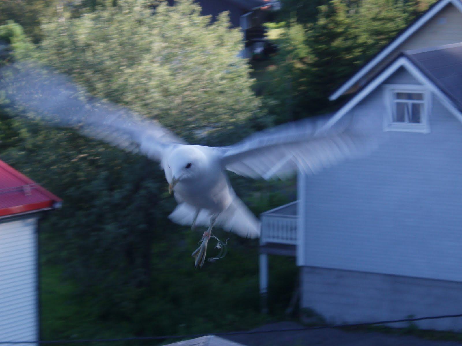 skremme fugler på taket