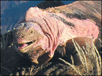 Pink Iguana, Volcan Wolf, Isabela Island, Galapagos Island, Ecuador