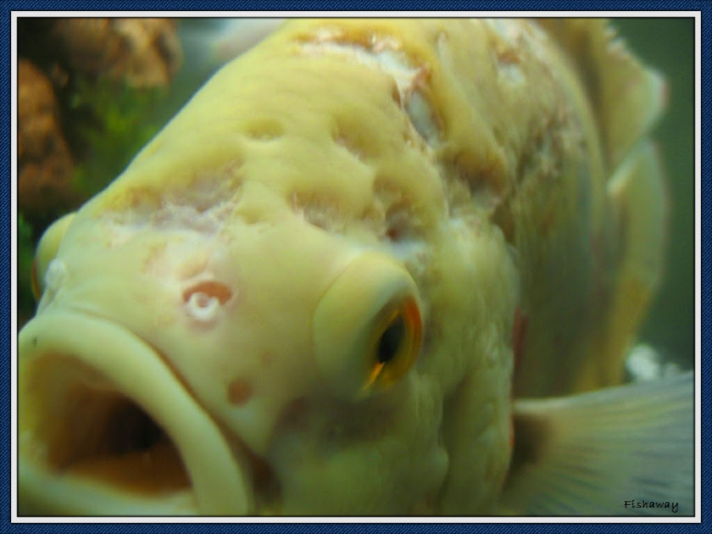 Freshwater fish diseases -  This Disease Is Typical Among Cichlids And Other Freshwater Fish Its Symptoms Are Appetite And Weight Loss And Small Depressions On The Head Thus The