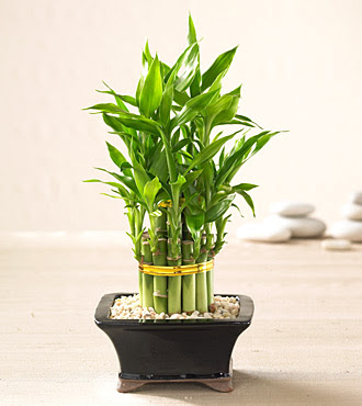 personal lucky bamboo plant. Black Bedroom Furniture Sets. Home Design Ideas