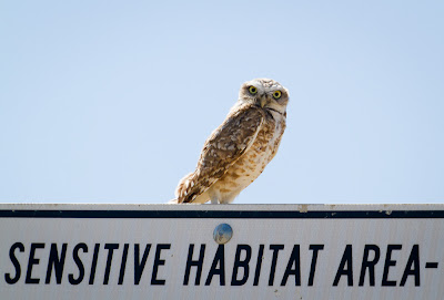 burrowing owl sits on sign that says sensitive habitat area
