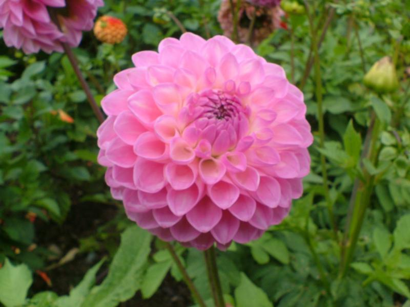 flowers and meanings anemone flower picture and meaning, Natural flower