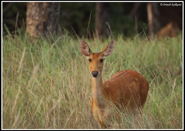 Female Barasingha, Kanha National Park