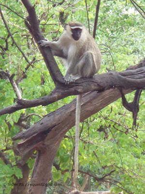 Vervet Monkey also known as African Green Monkey