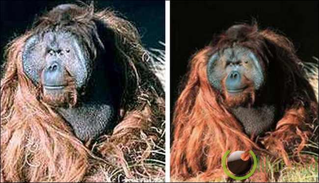 Orangutan Ken Allen, San Diego