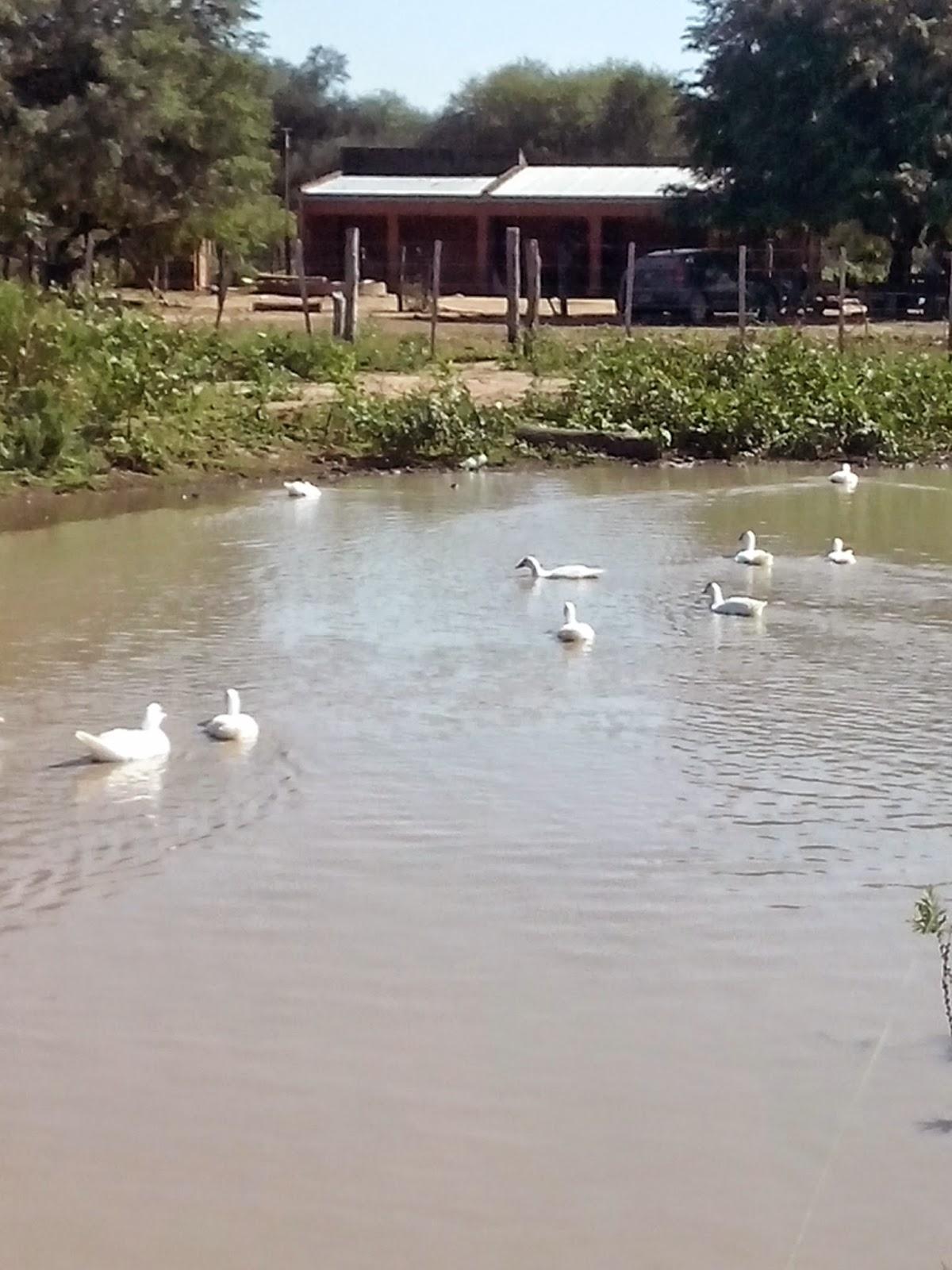 Astyanax bimaculatus proyecto de piscicultura rural con for Proyecto de piscicultura mojarra roja