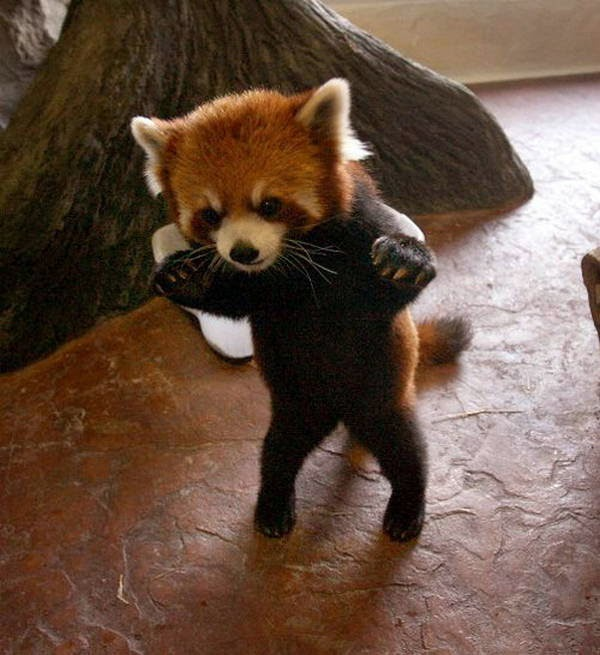 40 Adorable red panda pictures (40 pics), red panda standing on hind legs