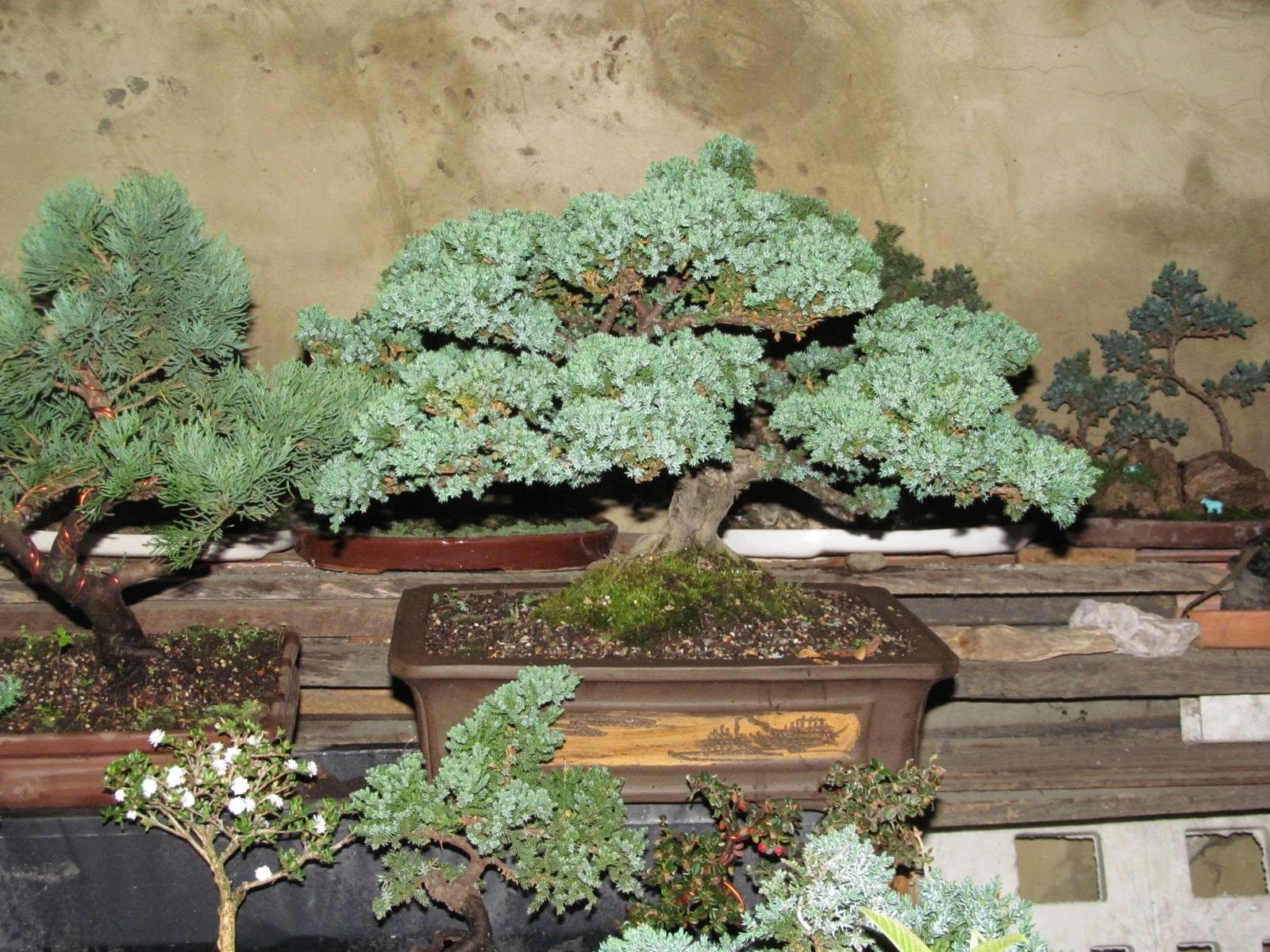 Exposicion de bonsai en el jardin botanico de bogota - Jardin de bonsais ...