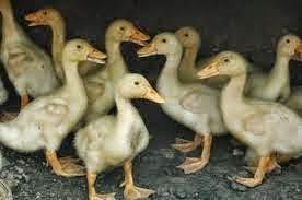 Peluang Usaha Ternak Bebek Hibrida Cepat Penen Untung Besar