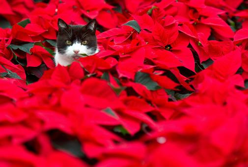 Black and white cat in pointsettias