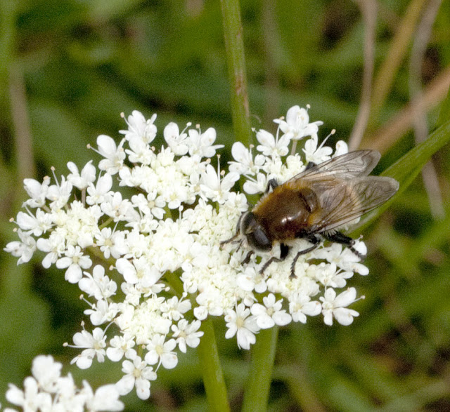 Hoverfly, Merodon equestris, a bumblebee imitator, on corky-fruited water dropwort, Oenanthe pimpinelloides.  Bumblebee walk in Jubilee Country Park, led by Jenny Price.  19 June 2011.