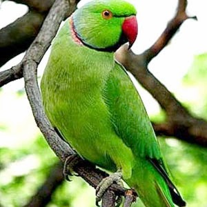 Foto Burung Betet Jantan