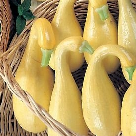 grow squash from seed