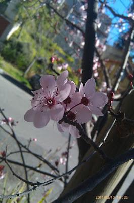 Plum Blossom SF Bay Area