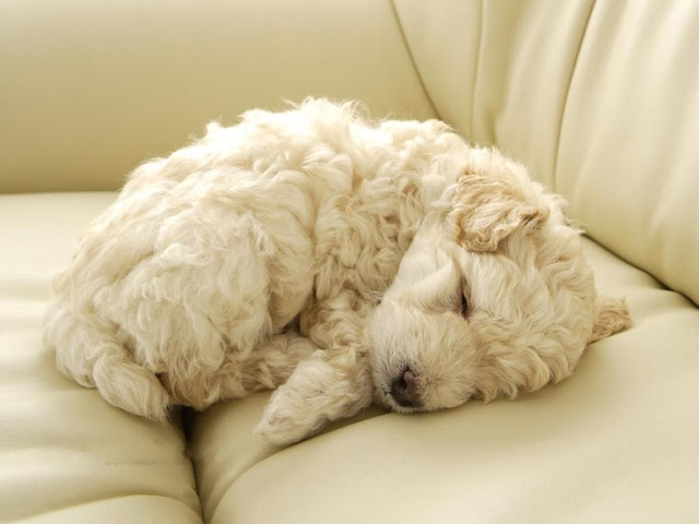 Health Problems in Poodle Dogs