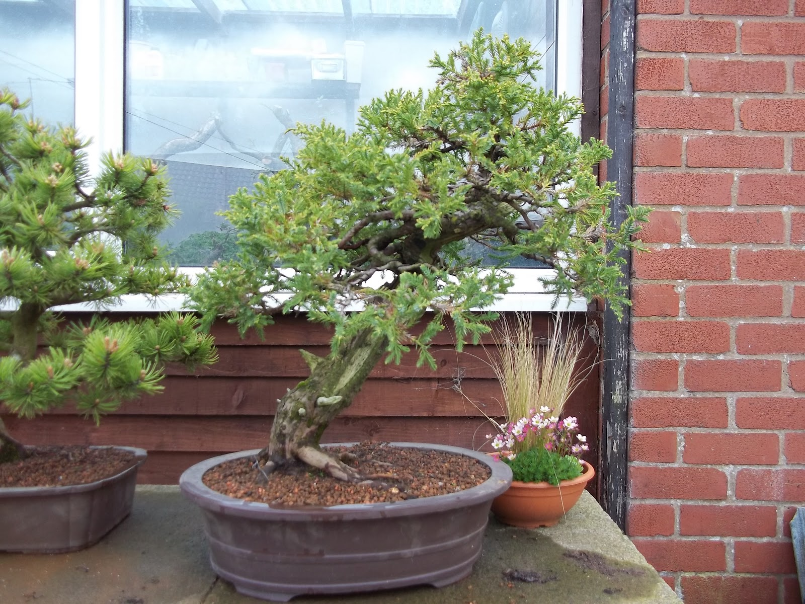 Ronin Bonsai April 2012