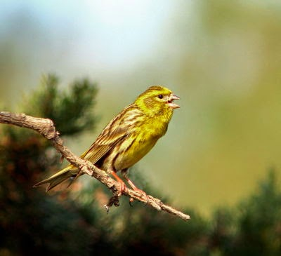 Un verdecillo cantando sobre una rama