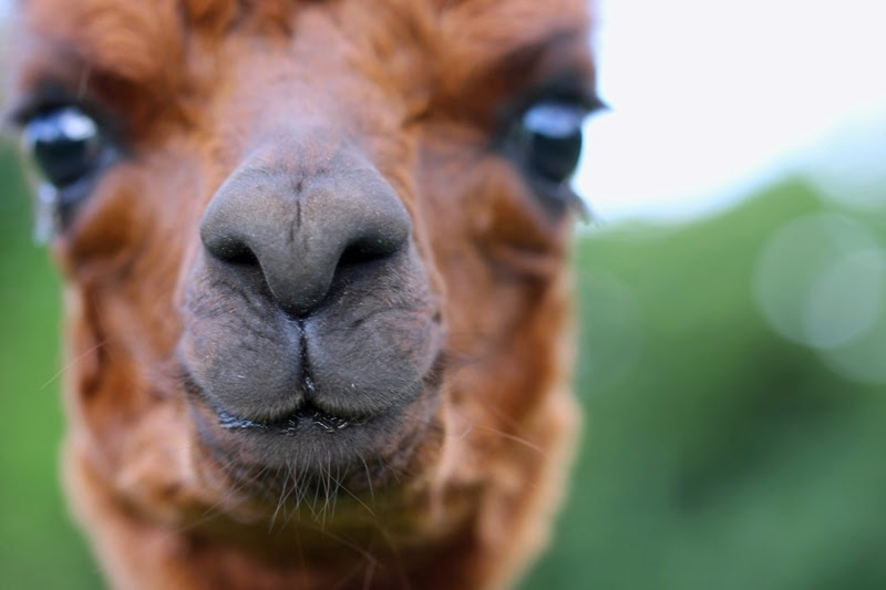close up of the alpaca cria Cocoapelli