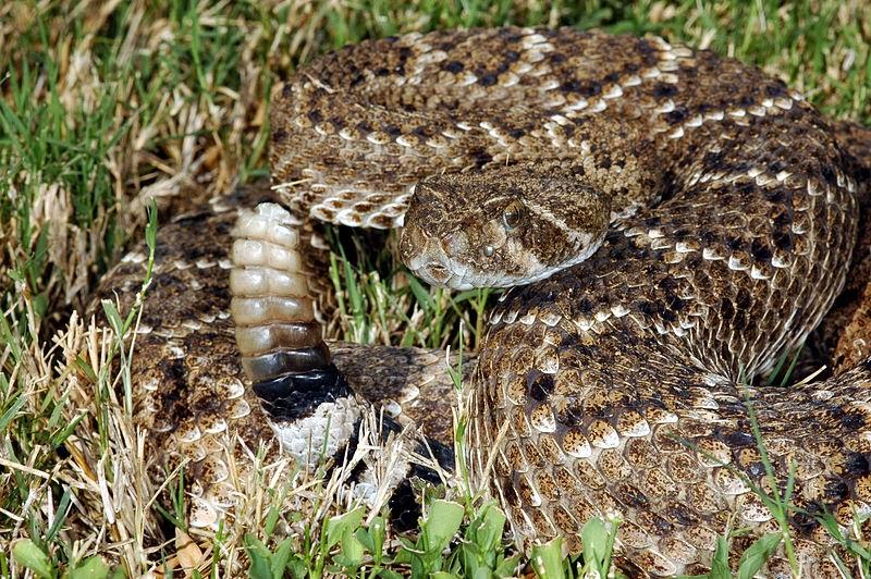 Western diamondback rattlesnake venom - photo#6