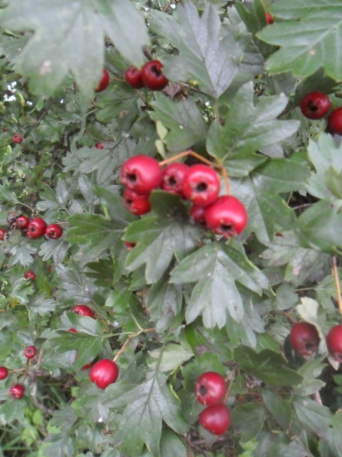 rosacea en homeopathie