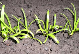 4 февраля, шпинат растет на лоджии