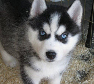 Siberian Husky Puppy Picture
