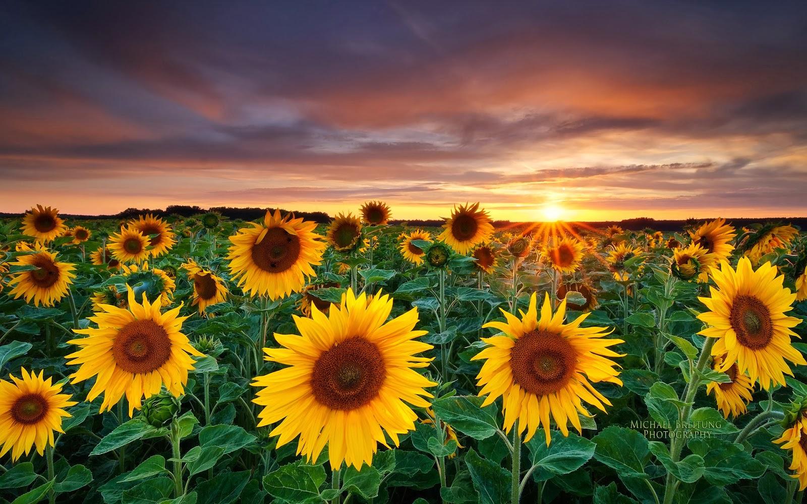 Sunset behind sunflower HD Wallpaper