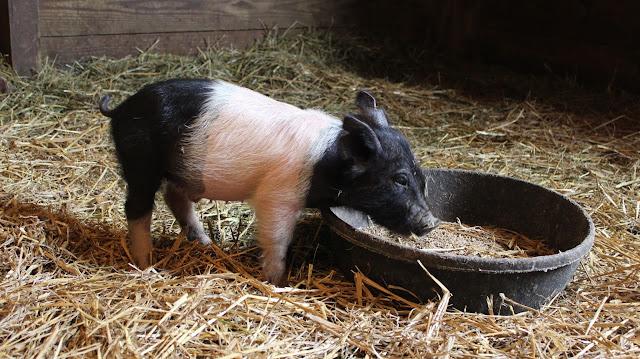 how to build a pig trough