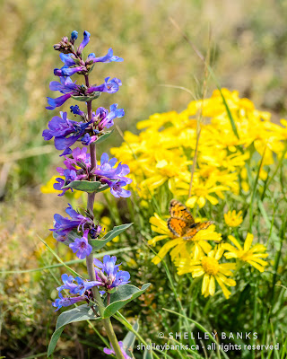 Slender Blue Beardtongue, Colorado rubberweed and Fritillary butterfly. Photo  © Shelley Banks, all rights reserved.