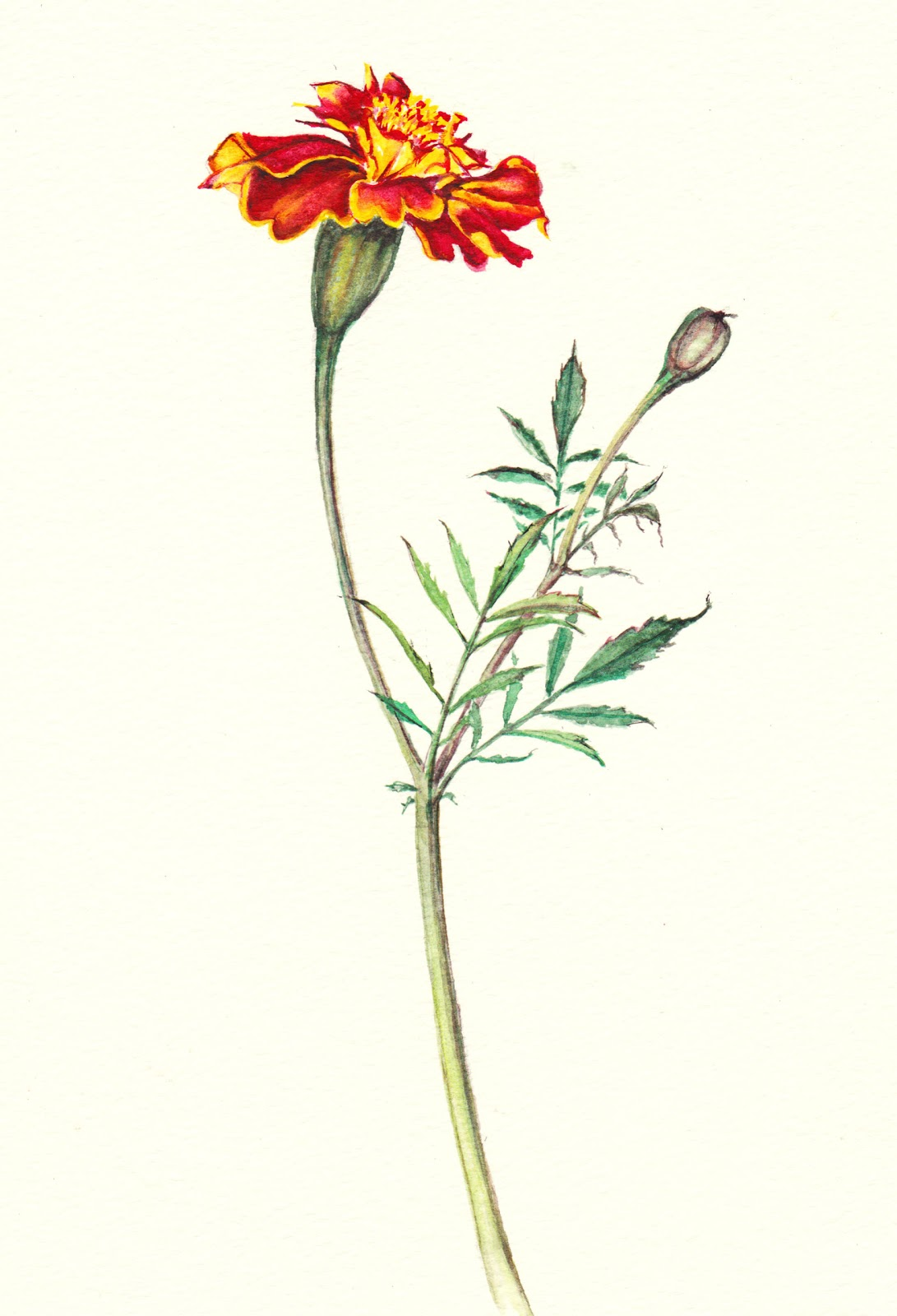 Gallery For gt Marigold Botanical Drawing