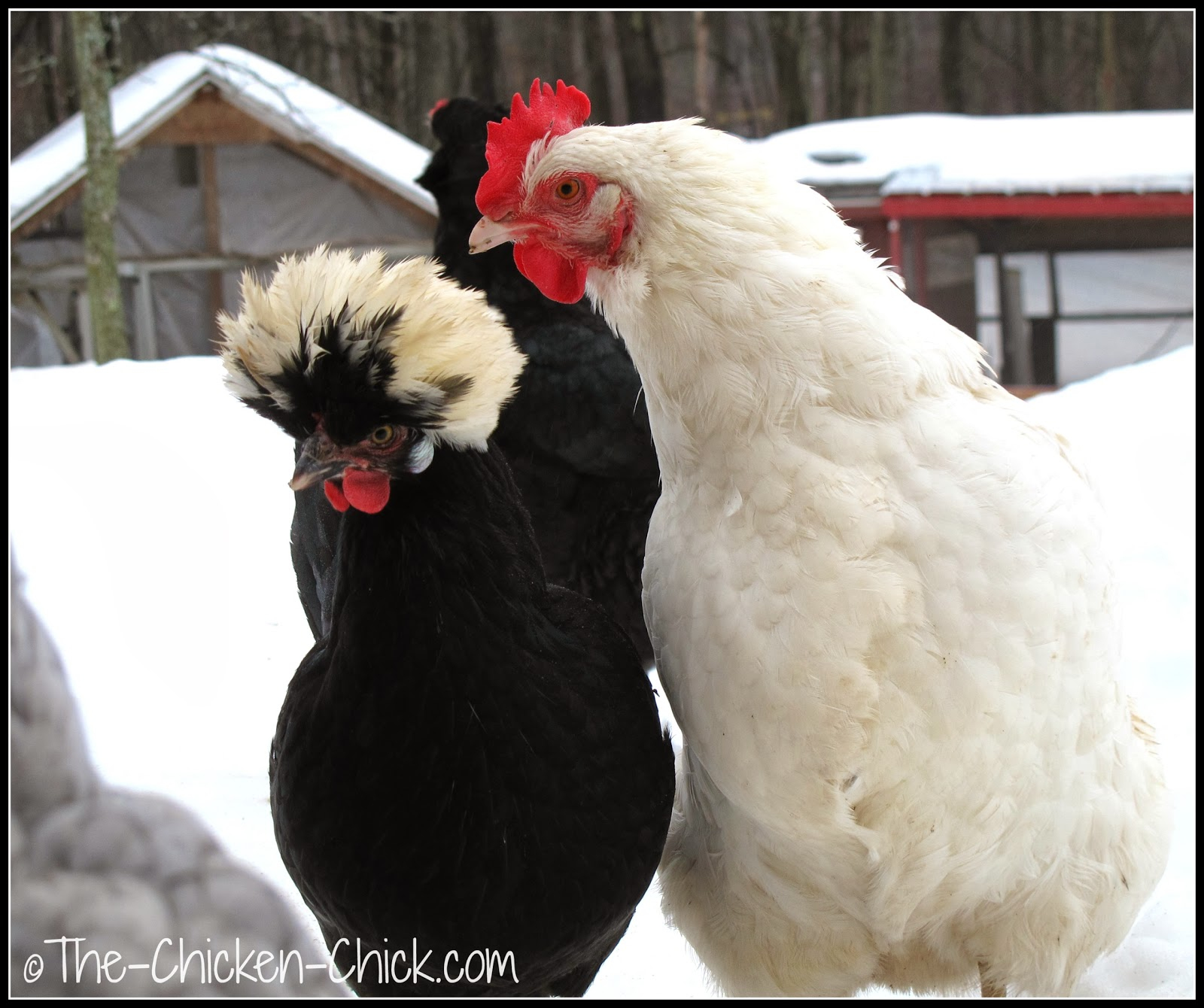 White Crested Black Polish hen and White Orpington hen