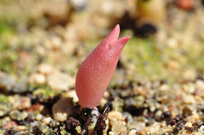 Etiolated Echinocactus polycephalus seedling, red from the sun