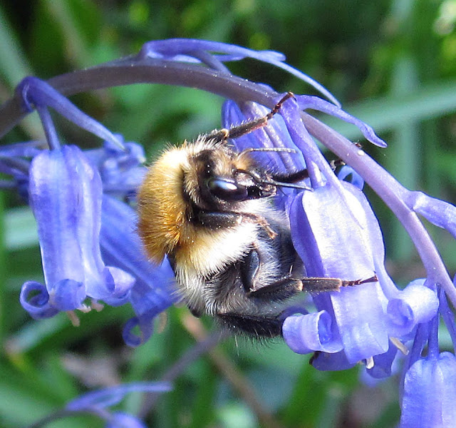 Bumblebee, Bombus pascuorum, on a common bluebell in Spring Park, West Wickham.  22 April 2011.