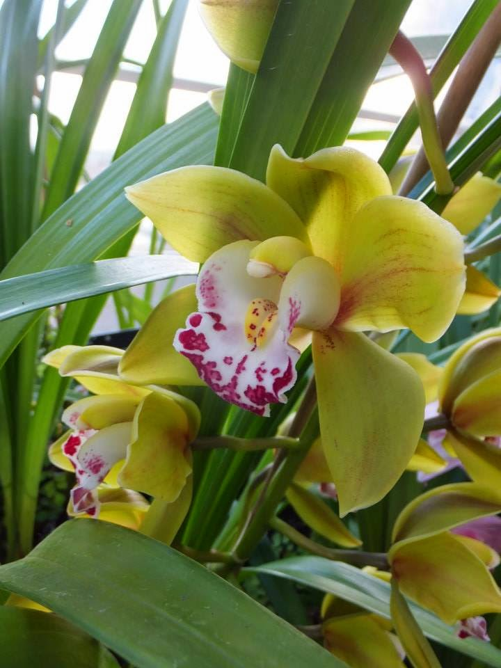 Cymbidium 'King's Lock Cooksbridge'