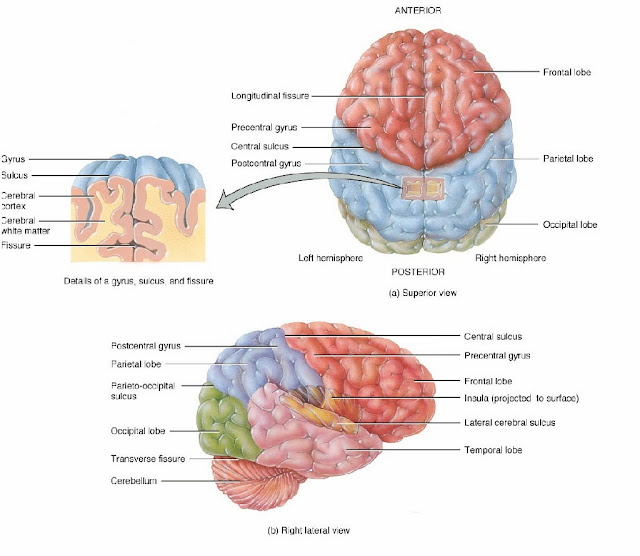 Cerebrum Diagram - Genetic Disorders Blog Articles