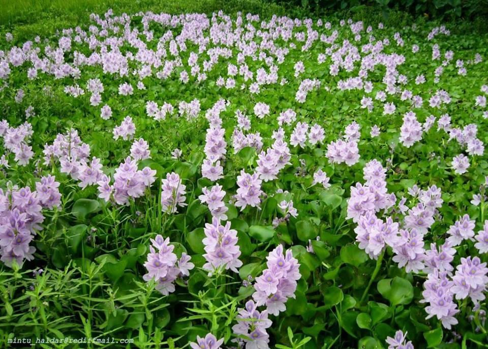 bunga keladi bunting