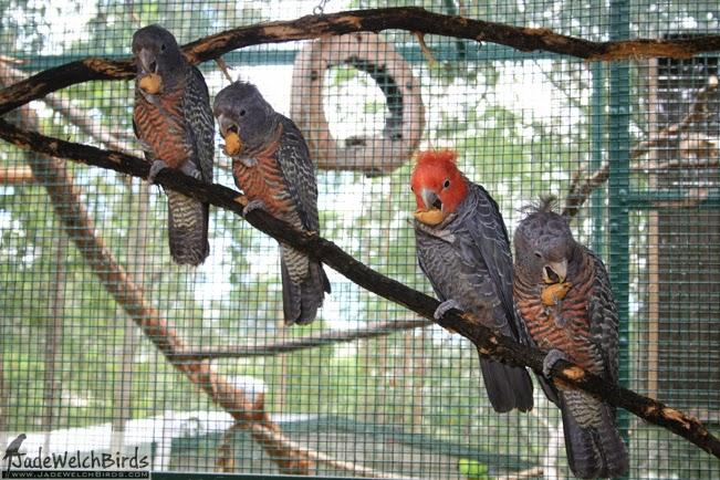 family gang gang cockatoo jadewelchbirds jade welch birds