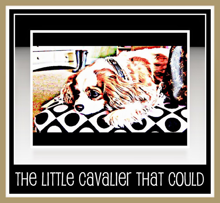 The little cavalier that could