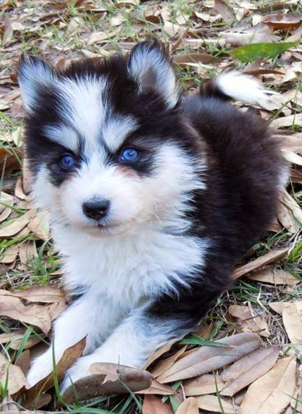 Blue eye husky