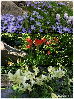 Vårstjärna, tulpaner, lilium