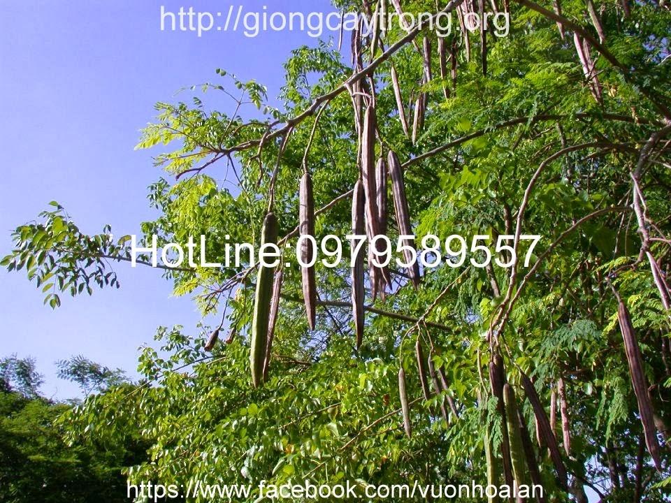 Cây thân mộc cao cỡ trung bình, ở độ tuổi trưởng thành cây có thể mọc cao hàng chục mét