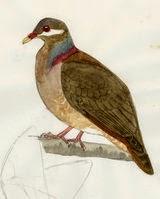 Bridled quail dove