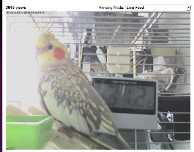 Cockatiel webcam