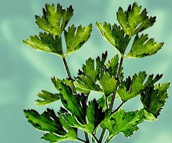 daun seledri, Cara Alami Mengatasi Wajah Berminyak
