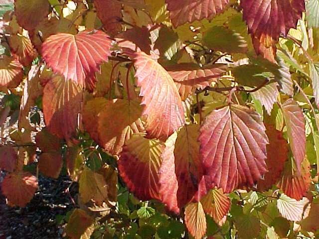 Viburnum Dentatum Fall Color Autumn jazz viburnum