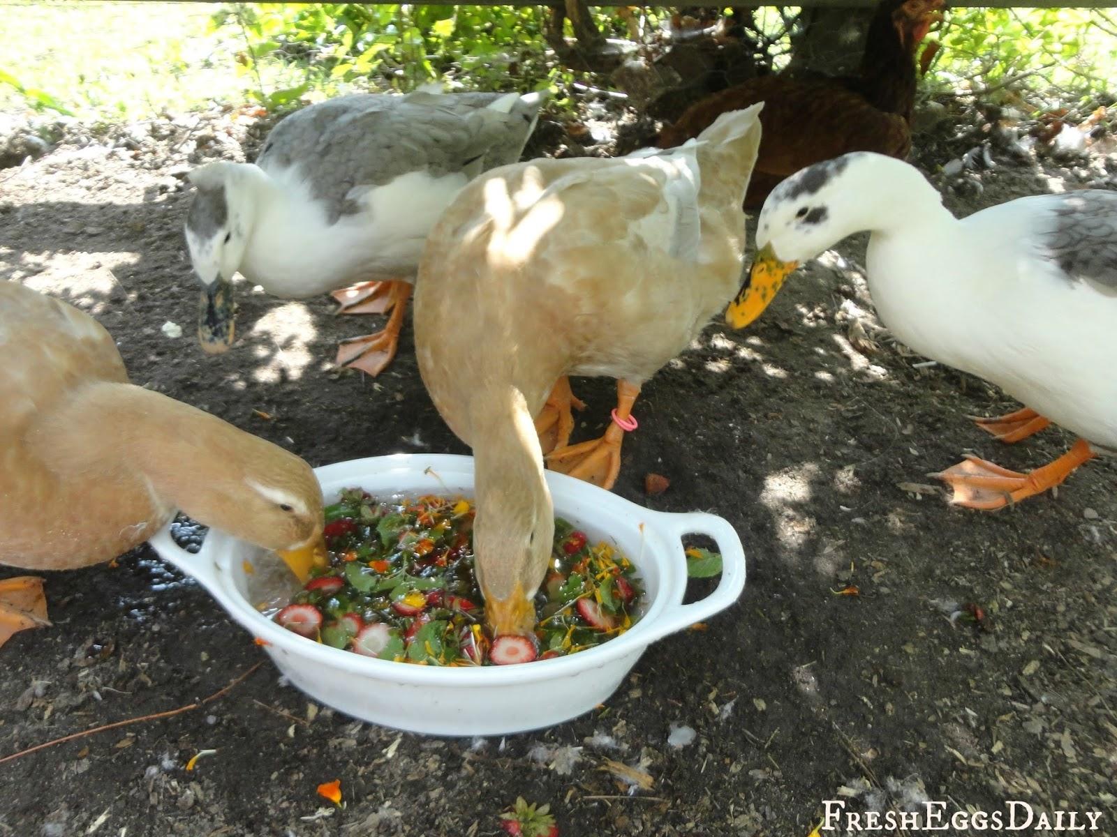 healthy treats for backyard ducks fresh eggs daily